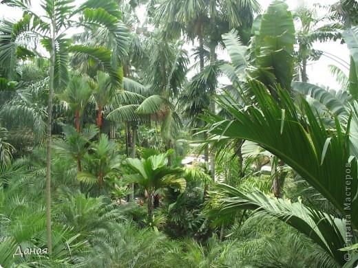 История парка, занесенного в книгу рекордов Гиннеса, и на экскурсию в который я вас приглашаю, началась в 1954 году, когда одна обеспеченная тайская семья купила участок земли в межгорной долине провинции Чанбури площадью 520 га. Сначала здесь разбили плодовый сад, выращивали манго, апельсины, кокосы и многое другое. Хозяйку сада звали Нонг Нуч. Спустя 16 лет она путешествовала по Европе и, вернувшись в родные края, решила превратить свой фруктовый сад в шикарный тропический парк. Трудом множества садовников участок был превращен в вечноцветущий сад, который в 1980 году открылся для широкого посещения.  фото 47