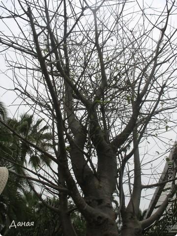 История парка, занесенного в книгу рекордов Гиннеса, и на экскурсию в который я вас приглашаю, началась в 1954 году, когда одна обеспеченная тайская семья купила участок земли в межгорной долине провинции Чанбури площадью 520 га. Сначала здесь разбили плодовый сад, выращивали манго, апельсины, кокосы и многое другое. Хозяйку сада звали Нонг Нуч. Спустя 16 лет она путешествовала по Европе и, вернувшись в родные края, решила превратить свой фруктовый сад в шикарный тропический парк. Трудом множества садовников участок был превращен в вечноцветущий сад, который в 1980 году открылся для широкого посещения.  фото 57