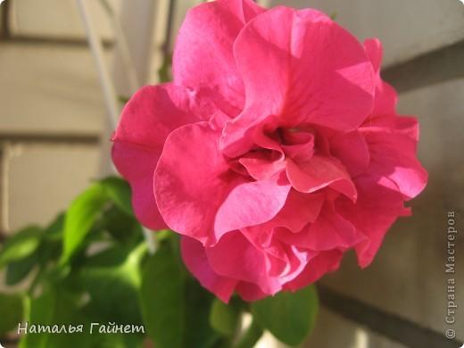 """Всем гостям моего репортажа желаю Доброго дня! Представляю Вашему вниманию цветы нашего балкона.Петуньи.Разные.И такие прекрасные! Первая красавица - """"Туман орхидеи"""". фото 12"""