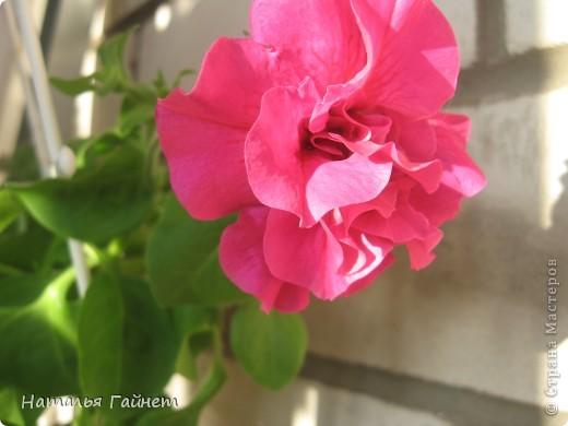 """Всем гостям моего репортажа желаю Доброго дня! Представляю Вашему вниманию цветы нашего балкона.Петуньи.Разные.И такие прекрасные! Первая красавица - """"Туман орхидеи"""". фото 13"""