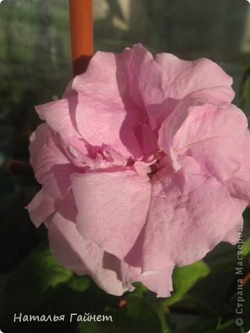 """Всем гостям моего репортажа желаю Доброго дня! Представляю Вашему вниманию цветы нашего балкона.Петуньи.Разные.И такие прекрасные! Первая красавица - """"Туман орхидеи"""". фото 2"""