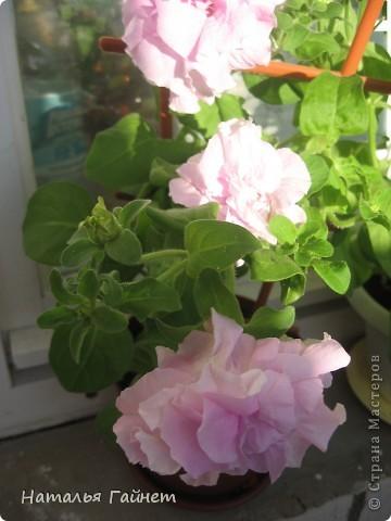 """Всем гостям моего репортажа желаю Доброго дня! Представляю Вашему вниманию цветы нашего балкона.Петуньи.Разные.И такие прекрасные! Первая красавица - """"Туман орхидеи"""". фото 3"""
