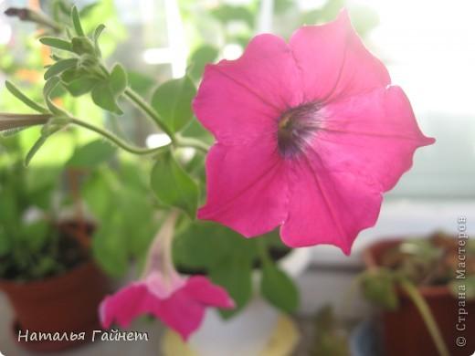 """Всем гостям моего репортажа желаю Доброго дня! Представляю Вашему вниманию цветы нашего балкона.Петуньи.Разные.И такие прекрасные! Первая красавица - """"Туман орхидеи"""". фото 17"""