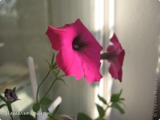 """Всем гостям моего репортажа желаю Доброго дня! Представляю Вашему вниманию цветы нашего балкона.Петуньи.Разные.И такие прекрасные! Первая красавица - """"Туман орхидеи"""". фото 18"""