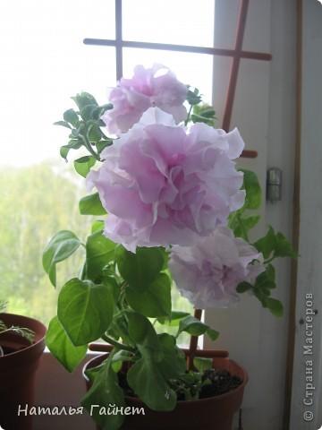 """Всем гостям моего репортажа желаю Доброго дня! Представляю Вашему вниманию цветы нашего балкона.Петуньи.Разные.И такие прекрасные! Первая красавица - """"Туман орхидеи"""". фото 6"""