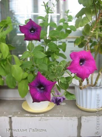 """Всем гостям моего репортажа желаю Доброго дня! Представляю Вашему вниманию цветы нашего балкона.Петуньи.Разные.И такие прекрасные! Первая красавица - """"Туман орхидеи"""". фото 19"""