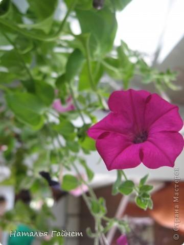 """Всем гостям моего репортажа желаю Доброго дня! Представляю Вашему вниманию цветы нашего балкона.Петуньи.Разные.И такие прекрасные! Первая красавица - """"Туман орхидеи"""". фото 20"""