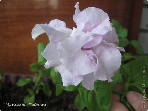 """Всем гостям моего репортажа желаю Доброго дня! Представляю Вашему вниманию цветы нашего балкона.Петуньи.Разные.И такие прекрасные! Первая красавица - """"Туман орхидеи"""". фото 8"""