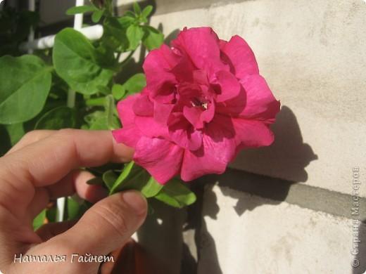 """Всем гостям моего репортажа желаю Доброго дня! Представляю Вашему вниманию цветы нашего балкона.Петуньи.Разные.И такие прекрасные! Первая красавица - """"Туман орхидеи"""". фото 14"""