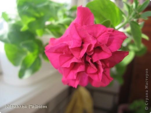 """Всем гостям моего репортажа желаю Доброго дня! Представляю Вашему вниманию цветы нашего балкона.Петуньи.Разные.И такие прекрасные! Первая красавица - """"Туман орхидеи"""". фото 15"""