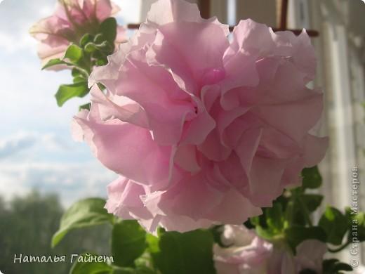"""Всем гостям моего репортажа желаю Доброго дня! Представляю Вашему вниманию цветы нашего балкона.Петуньи.Разные.И такие прекрасные! Первая красавица - """"Туман орхидеи"""". фото 9"""