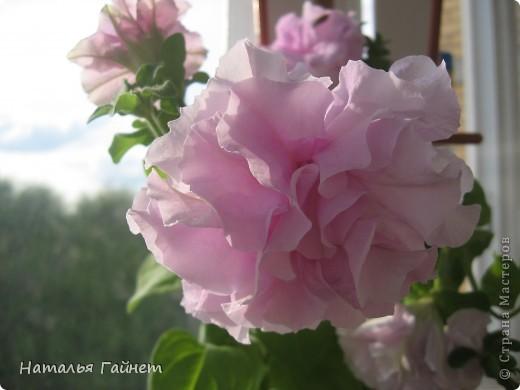 """Всем гостям моего репортажа желаю Доброго дня! Представляю Вашему вниманию цветы нашего балкона.Петуньи.Разные.И такие прекрасные! Первая красавица - """"Туман орхидеи"""". фото 1"""