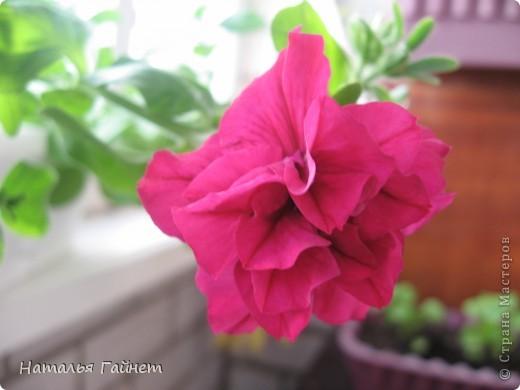 """Всем гостям моего репортажа желаю Доброго дня! Представляю Вашему вниманию цветы нашего балкона.Петуньи.Разные.И такие прекрасные! Первая красавица - """"Туман орхидеи"""". фото 16"""