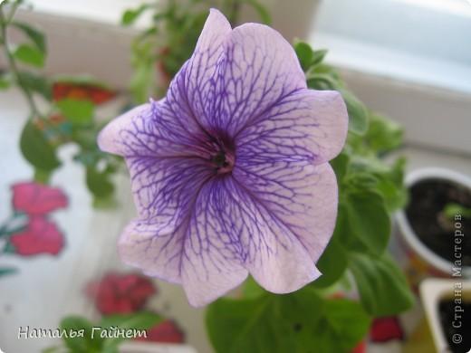 """Всем гостям моего репортажа желаю Доброго дня! Представляю Вашему вниманию цветы нашего балкона.Петуньи.Разные.И такие прекрасные! Первая красавица - """"Туман орхидеи"""". фото 10"""