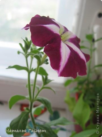 """Всем гостям моего репортажа желаю Доброго дня! Представляю Вашему вниманию цветы нашего балкона.Петуньи.Разные.И такие прекрасные! Первая красавица - """"Туман орхидеи"""". фото 24"""