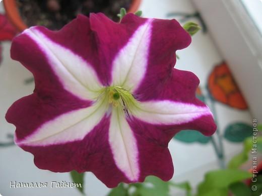 """Всем гостям моего репортажа желаю Доброго дня! Представляю Вашему вниманию цветы нашего балкона.Петуньи.Разные.И такие прекрасные! Первая красавица - """"Туман орхидеи"""". фото 25"""