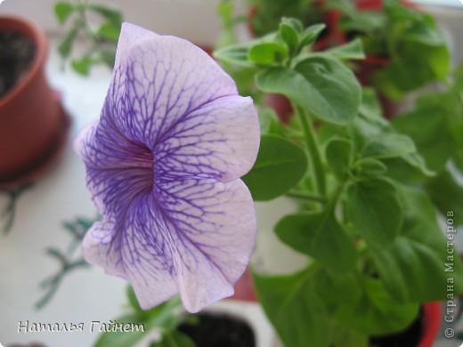 """Всем гостям моего репортажа желаю Доброго дня! Представляю Вашему вниманию цветы нашего балкона.Петуньи.Разные.И такие прекрасные! Первая красавица - """"Туман орхидеи"""". фото 11"""