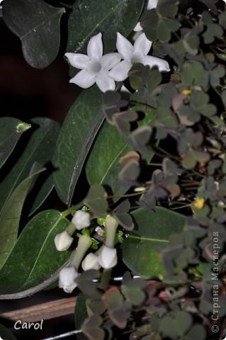 Стефанотис фото 2