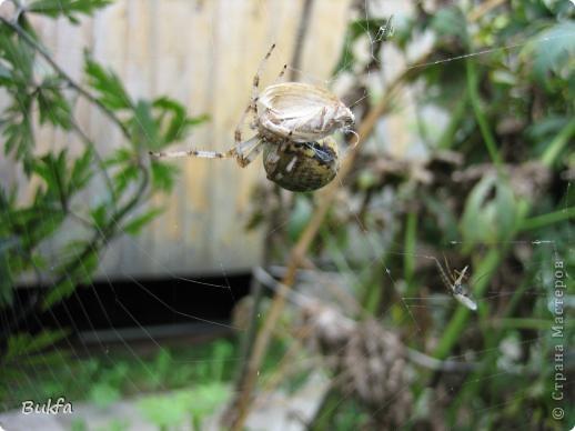 """Все, что вокруг нас - это же интересно! – сказала мне Elena.ost. Только после этого решилась показать вам этот материал. Спасибо, Леночка! Мне очень нравится эта серия фото, но только после твоего паука и показываю своего.   """"Хочешь жить, здоровым быть - паука не смей убить"""", - предупреждает известная присказка, которая, надо полагать, за время своего существования спасла жизнь миллионам этих насекомых.  Наш дачный участок – в лесу. (Видите, там на заднем плане уже лес.) Потому, видно, живет с нами рядом много всякой живности. Из леса они к нам приходят, прилетают, приползают, припрыгивают…   зайцы, барсуки, ежики,  красивые птички и, конечно, насекомые….  Вообще, на нашей планете существует от 2 до 4 миллионов различных видов! Описано около 625 000 видов насекомых, и практически нет надежды, что когда-либо будут описаны все существующие виды насекомых.  Если попытаться оценивать абсолютное количество насекомых, живущих на земле, то цифра получится столь огромной, что человеческий разум не может ее даже себе представить! Интернет предлагает  оценить примерное число насекомых, обитающих только в земле, так: подсчитать их количество в 1 м2 влажной почвы. Это число колеблется от 500 до 2000. Представляете, на ОДНОМ квадратном метре!!! А сколько же их на шести сотках, которые имеет большинство наших садоводов??? Кто быстро считает? Правда, большинство из них мы простым глазом не видим. Но сколько их живет над землей  и на земле.  Получается, мы живем на планете насекомых?  фото 11"""