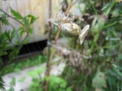 """Все, что вокруг нас - это же интересно! – сказала мне Elena.ost. Только после этого решилась показать вам этот материал. Спасибо, Леночка! Мне очень нравится эта серия фото, но только после твоего паука и показываю своего.   """"Хочешь жить, здоровым быть - паука не смей убить"""", - предупреждает известная присказка, которая, надо полагать, за время своего существования спасла жизнь миллионам этих насекомых.  Наш дачный участок – в лесу. (Видите, там на заднем плане уже лес.) Потому, видно, живет с нами рядом много всякой живности. Из леса они к нам приходят, прилетают, приползают, припрыгивают…   зайцы, барсуки, ежики,  красивые птички и, конечно, насекомые….  Вообще, на нашей планете существует от 2 до 4 миллионов различных видов! Описано около 625 000 видов насекомых, и практически нет надежды, что когда-либо будут описаны все существующие виды насекомых.  Если попытаться оценивать абсолютное количество насекомых, живущих на земле, то цифра получится столь огромной, что человеческий разум не может ее даже себе представить! Интернет предлагает  оценить примерное число насекомых, обитающих только в земле, так: подсчитать их количество в 1 м2 влажной почвы. Это число колеблется от 500 до 2000. Представляете, на ОДНОМ квадратном метре!!! А сколько же их на шести сотках, которые имеет большинство наших садоводов??? Кто быстро считает? Правда, большинство из них мы простым глазом не видим. Но сколько их живет над землей  и на земле.  Получается, мы живем на планете насекомых?  фото 14"""