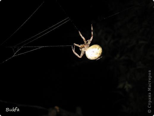"""Все, что вокруг нас - это же интересно! – сказала мне Elena.ost. Только после этого решилась показать вам этот материал. Спасибо, Леночка! Мне очень нравится эта серия фото, но только после твоего паука и показываю своего.   """"Хочешь жить, здоровым быть - паука не смей убить"""", - предупреждает известная присказка, которая, надо полагать, за время своего существования спасла жизнь миллионам этих насекомых.  Наш дачный участок – в лесу. (Видите, там на заднем плане уже лес.) Потому, видно, живет с нами рядом много всякой живности. Из леса они к нам приходят, прилетают, приползают, припрыгивают…   зайцы, барсуки, ежики,  красивые птички и, конечно, насекомые….  Вообще, на нашей планете существует от 2 до 4 миллионов различных видов! Описано около 625 000 видов насекомых, и практически нет надежды, что когда-либо будут описаны все существующие виды насекомых.  Если попытаться оценивать абсолютное количество насекомых, живущих на земле, то цифра получится столь огромной, что человеческий разум не может ее даже себе представить! Интернет предлагает  оценить примерное число насекомых, обитающих только в земле, так: подсчитать их количество в 1 м2 влажной почвы. Это число колеблется от 500 до 2000. Представляете, на ОДНОМ квадратном метре!!! А сколько же их на шести сотках, которые имеет большинство наших садоводов??? Кто быстро считает? Правда, большинство из них мы простым глазом не видим. Но сколько их живет над землей  и на земле.  Получается, мы живем на планете насекомых?  фото 2"""