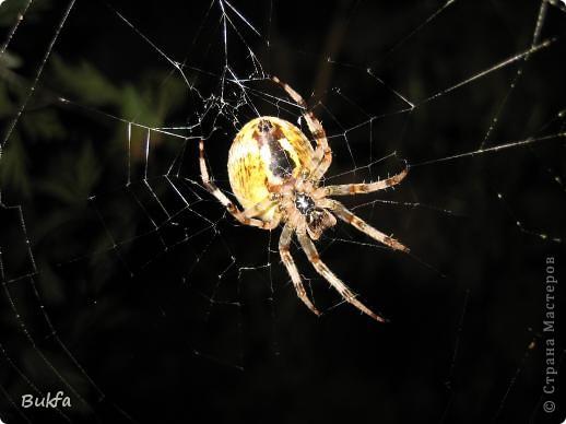 """Все, что вокруг нас - это же интересно! – сказала мне Elena.ost. Только после этого решилась показать вам этот материал. Спасибо, Леночка! Мне очень нравится эта серия фото, но только после твоего паука и показываю своего.   """"Хочешь жить, здоровым быть - паука не смей убить"""", - предупреждает известная присказка, которая, надо полагать, за время своего существования спасла жизнь миллионам этих насекомых.  Наш дачный участок – в лесу. (Видите, там на заднем плане уже лес.) Потому, видно, живет с нами рядом много всякой живности. Из леса они к нам приходят, прилетают, приползают, припрыгивают…   зайцы, барсуки, ежики,  красивые птички и, конечно, насекомые….  Вообще, на нашей планете существует от 2 до 4 миллионов различных видов! Описано около 625 000 видов насекомых, и практически нет надежды, что когда-либо будут описаны все существующие виды насекомых.  Если попытаться оценивать абсолютное количество насекомых, живущих на земле, то цифра получится столь огромной, что человеческий разум не может ее даже себе представить! Интернет предлагает  оценить примерное число насекомых, обитающих только в земле, так: подсчитать их количество в 1 м2 влажной почвы. Это число колеблется от 500 до 2000. Представляете, на ОДНОМ квадратном метре!!! А сколько же их на шести сотках, которые имеет большинство наших садоводов??? Кто быстро считает? Правда, большинство из них мы простым глазом не видим. Но сколько их живет над землей  и на земле.  Получается, мы живем на планете насекомых?  фото 3"""