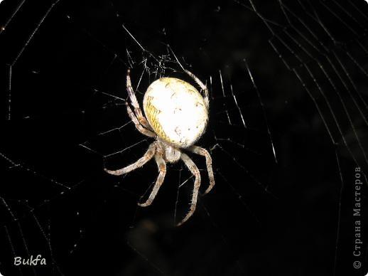"""Все, что вокруг нас - это же интересно! – сказала мне Elena.ost. Только после этого решилась показать вам этот материал. Спасибо, Леночка! Мне очень нравится эта серия фото, но только после твоего паука и показываю своего.   """"Хочешь жить, здоровым быть - паука не смей убить"""", - предупреждает известная присказка, которая, надо полагать, за время своего существования спасла жизнь миллионам этих насекомых.  Наш дачный участок – в лесу. (Видите, там на заднем плане уже лес.) Потому, видно, живет с нами рядом много всякой живности. Из леса они к нам приходят, прилетают, приползают, припрыгивают…   зайцы, барсуки, ежики,  красивые птички и, конечно, насекомые….  Вообще, на нашей планете существует от 2 до 4 миллионов различных видов! Описано около 625 000 видов насекомых, и практически нет надежды, что когда-либо будут описаны все существующие виды насекомых.  Если попытаться оценивать абсолютное количество насекомых, живущих на земле, то цифра получится столь огромной, что человеческий разум не может ее даже себе представить! Интернет предлагает  оценить примерное число насекомых, обитающих только в земле, так: подсчитать их количество в 1 м2 влажной почвы. Это число колеблется от 500 до 2000. Представляете, на ОДНОМ квадратном метре!!! А сколько же их на шести сотках, которые имеет большинство наших садоводов??? Кто быстро считает? Правда, большинство из них мы простым глазом не видим. Но сколько их живет над землей  и на земле.  Получается, мы живем на планете насекомых?  фото 4"""