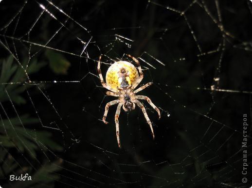 """Все, что вокруг нас - это же интересно! – сказала мне Elena.ost. Только после этого решилась показать вам этот материал. Спасибо, Леночка! Мне очень нравится эта серия фото, но только после твоего паука и показываю своего.   """"Хочешь жить, здоровым быть - паука не смей убить"""", - предупреждает известная присказка, которая, надо полагать, за время своего существования спасла жизнь миллионам этих насекомых.  Наш дачный участок – в лесу. (Видите, там на заднем плане уже лес.) Потому, видно, живет с нами рядом много всякой живности. Из леса они к нам приходят, прилетают, приползают, припрыгивают…   зайцы, барсуки, ежики,  красивые птички и, конечно, насекомые….  Вообще, на нашей планете существует от 2 до 4 миллионов различных видов! Описано около 625 000 видов насекомых, и практически нет надежды, что когда-либо будут описаны все существующие виды насекомых.  Если попытаться оценивать абсолютное количество насекомых, живущих на земле, то цифра получится столь огромной, что человеческий разум не может ее даже себе представить! Интернет предлагает  оценить примерное число насекомых, обитающих только в земле, так: подсчитать их количество в 1 м2 влажной почвы. Это число колеблется от 500 до 2000. Представляете, на ОДНОМ квадратном метре!!! А сколько же их на шести сотках, которые имеет большинство наших садоводов??? Кто быстро считает? Правда, большинство из них мы простым глазом не видим. Но сколько их живет над землей  и на земле.  Получается, мы живем на планете насекомых?  фото 6"""