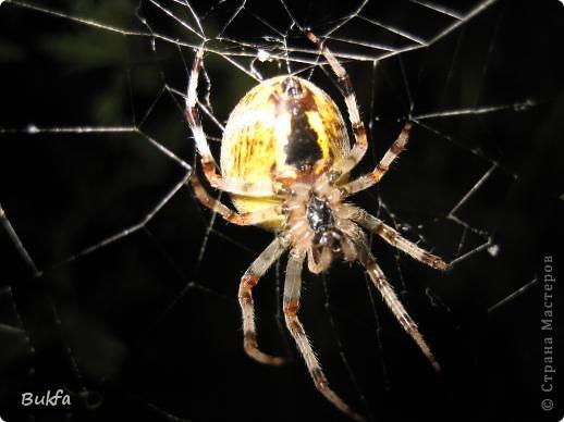 """Все, что вокруг нас - это же интересно! – сказала мне Elena.ost. Только после этого решилась показать вам этот материал. Спасибо, Леночка! Мне очень нравится эта серия фото, но только после твоего паука и показываю своего.   """"Хочешь жить, здоровым быть - паука не смей убить"""", - предупреждает известная присказка, которая, надо полагать, за время своего существования спасла жизнь миллионам этих насекомых.  Наш дачный участок – в лесу. (Видите, там на заднем плане уже лес.) Потому, видно, живет с нами рядом много всякой живности. Из леса они к нам приходят, прилетают, приползают, припрыгивают…   зайцы, барсуки, ежики,  красивые птички и, конечно, насекомые….  Вообще, на нашей планете существует от 2 до 4 миллионов различных видов! Описано около 625 000 видов насекомых, и практически нет надежды, что когда-либо будут описаны все существующие виды насекомых.  Если попытаться оценивать абсолютное количество насекомых, живущих на земле, то цифра получится столь огромной, что человеческий разум не может ее даже себе представить! Интернет предлагает  оценить примерное число насекомых, обитающих только в земле, так: подсчитать их количество в 1 м2 влажной почвы. Это число колеблется от 500 до 2000. Представляете, на ОДНОМ квадратном метре!!! А сколько же их на шести сотках, которые имеет большинство наших садоводов??? Кто быстро считает? Правда, большинство из них мы простым глазом не видим. Но сколько их живет над землей  и на земле.  Получается, мы живем на планете насекомых?  фото 5"""