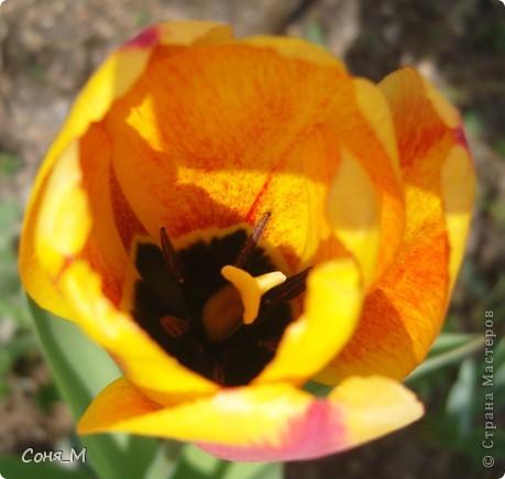 мои тюльпаны фото 18