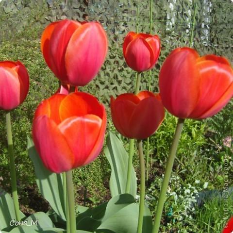 мои тюльпаны фото 16