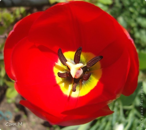 мои тюльпаны фото 17