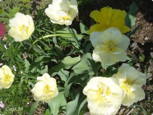 мои тюльпаны фото 20