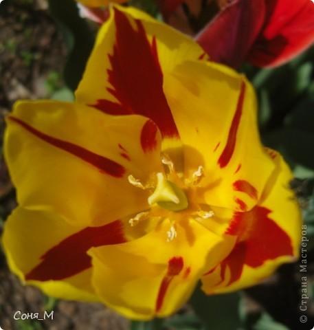 мои тюльпаны фото 11