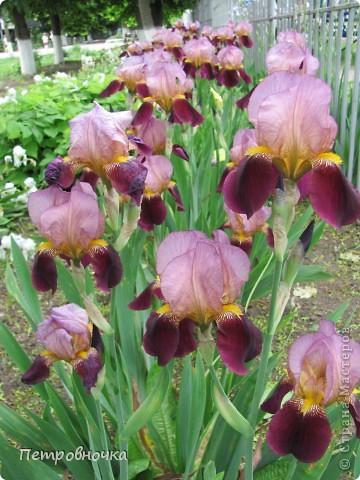 Удивительный цветок ирис. На Кубани их называют ласково петушки. Всего десяток лет назад они были одного цвета и размера, а сейчас такое разнообразие, что дух захватывает. фото 1