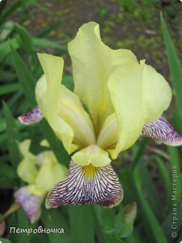 Удивительный цветок ирис. На Кубани их называют ласково петушки. Всего десяток лет назад они были одного цвета и размера, а сейчас такое разнообразие, что дух захватывает. фото 2