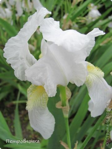 Удивительный цветок ирис. На Кубани их называют ласково петушки. Всего десяток лет назад они были одного цвета и размера, а сейчас такое разнообразие, что дух захватывает. фото 3