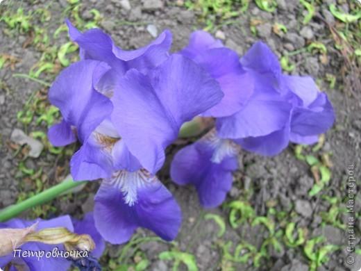 Удивительный цветок ирис. На Кубани их называют ласково петушки. Всего десяток лет назад они были одного цвета и размера, а сейчас такое разнообразие, что дух захватывает. фото 4