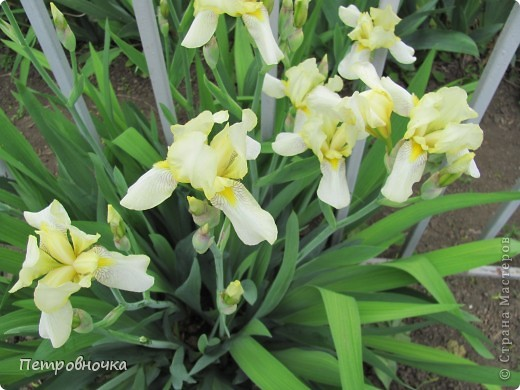 Удивительный цветок ирис. На Кубани их называют ласково петушки. Всего десяток лет назад они были одного цвета и размера, а сейчас такое разнообразие, что дух захватывает. фото 7