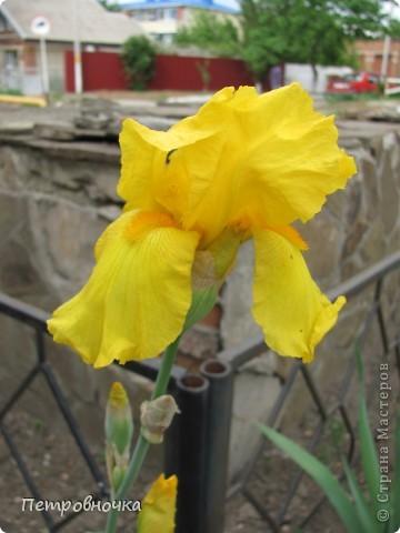 Удивительный цветок ирис. На Кубани их называют ласково петушки. Всего десяток лет назад они были одного цвета и размера, а сейчас такое разнообразие, что дух захватывает. фото 8