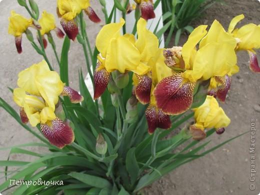 Удивительный цветок ирис. На Кубани их называют ласково петушки. Всего десяток лет назад они были одного цвета и размера, а сейчас такое разнообразие, что дух захватывает. фото 9
