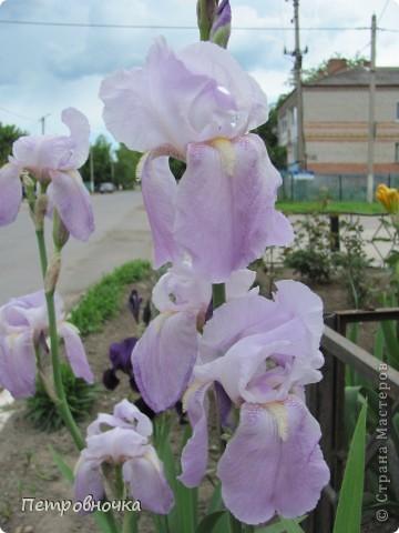 Удивительный цветок ирис. На Кубани их называют ласково петушки. Всего десяток лет назад они были одного цвета и размера, а сейчас такое разнообразие, что дух захватывает. фото 10