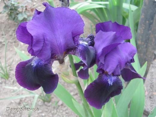 Удивительный цветок ирис. На Кубани их называют ласково петушки. Всего десяток лет назад они были одного цвета и размера, а сейчас такое разнообразие, что дух захватывает. фото 11
