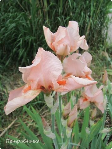 Удивительный цветок ирис. На Кубани их называют ласково петушки. Всего десяток лет назад они были одного цвета и размера, а сейчас такое разнообразие, что дух захватывает. фото 13