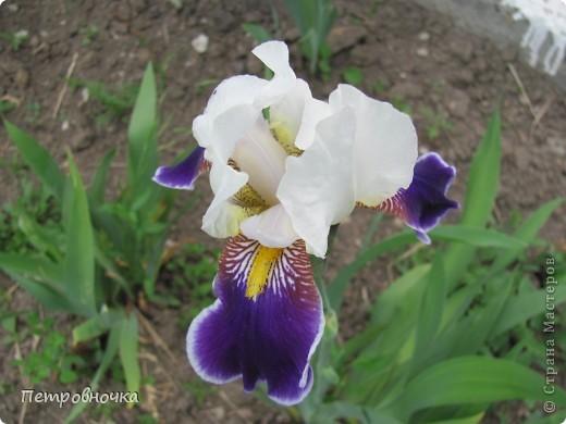 Удивительный цветок ирис. На Кубани их называют ласково петушки. Всего десяток лет назад они были одного цвета и размера, а сейчас такое разнообразие, что дух захватывает. фото 16