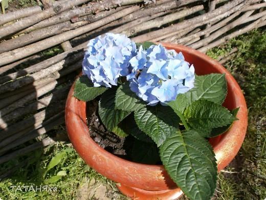 Гортензия голубая , ну очень красивая.. А кашпо с африканскими знойными женщинами., тоже симпатичными. фото 5