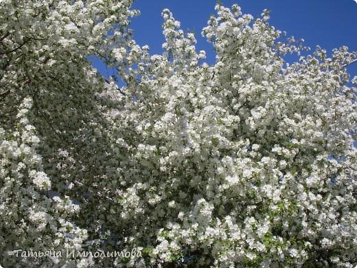 Яблони в цвету. фото 2