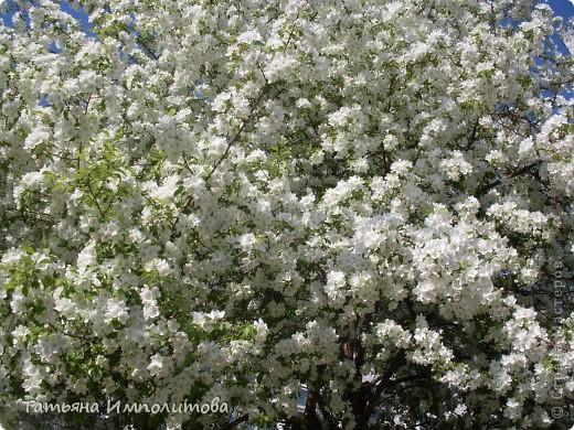 Яблони в цвету. фото 3
