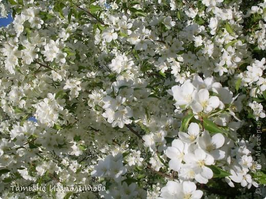 Яблони в цвету. фото 1