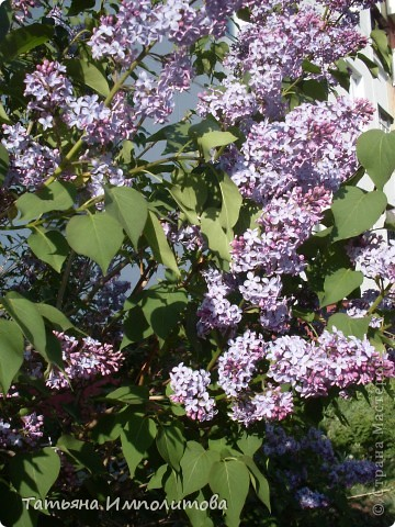 Яблони в цвету. фото 8
